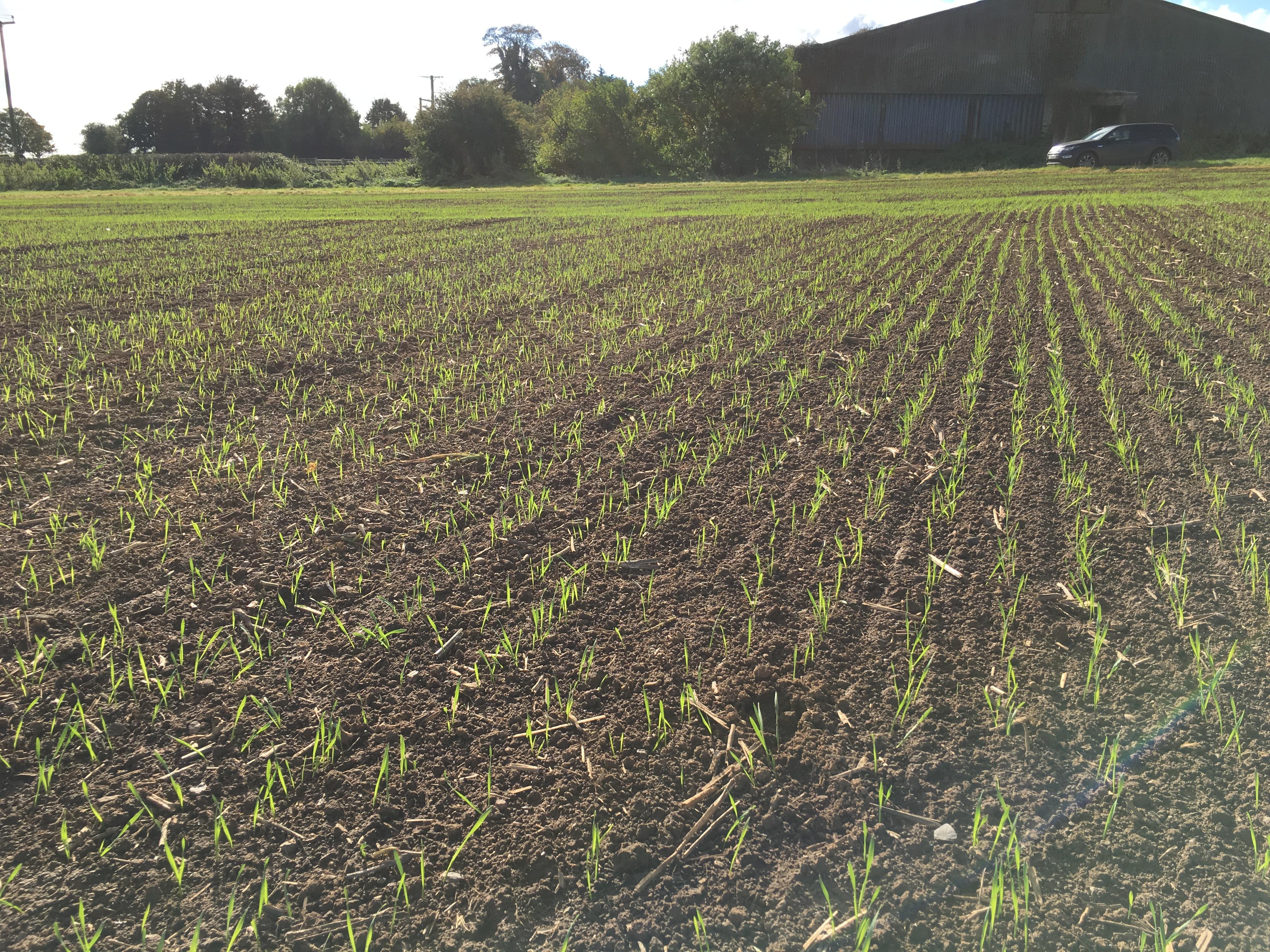 Winter Wheat Skyfall